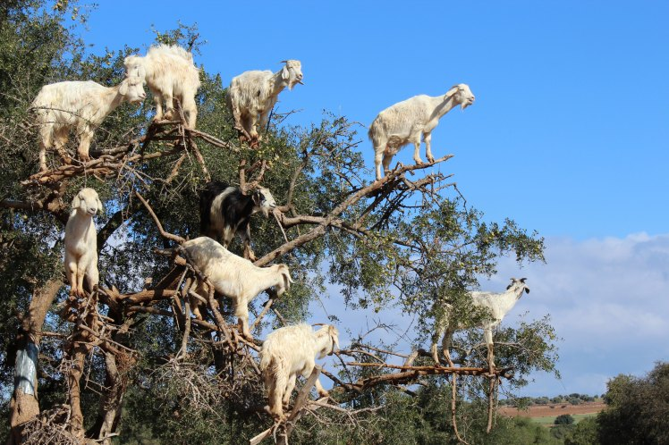 Goats_in_tree